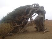 El Sabinar, schiefer Baum